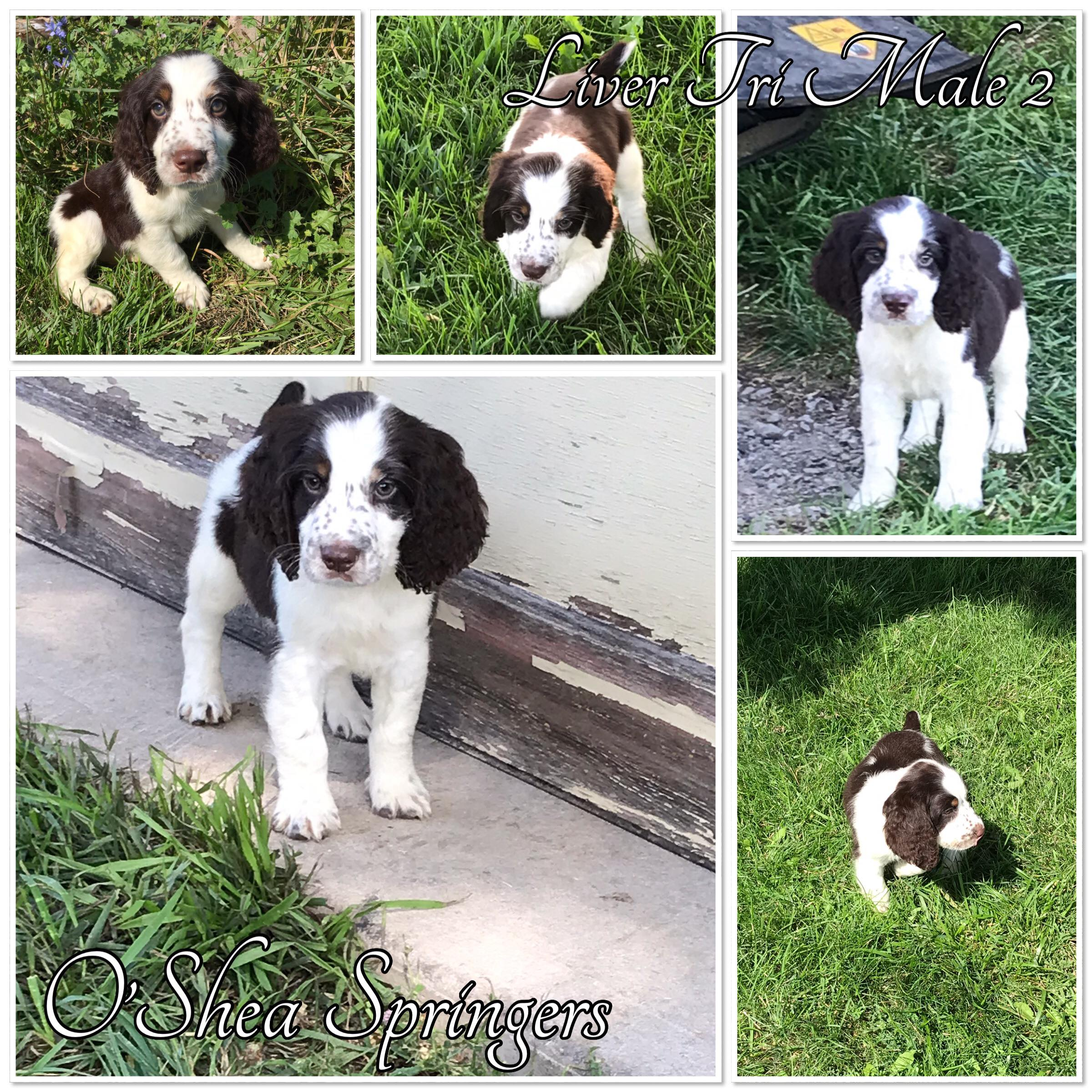 English Springer Spaniels, Ontario, Canada, puppies English